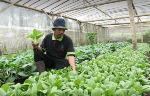 Kebun sdayur, Green House di Kaliandra Eco Resort Prigen